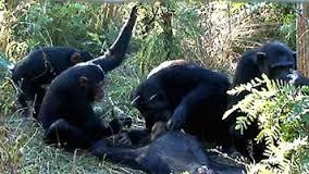 Chimp Funeral